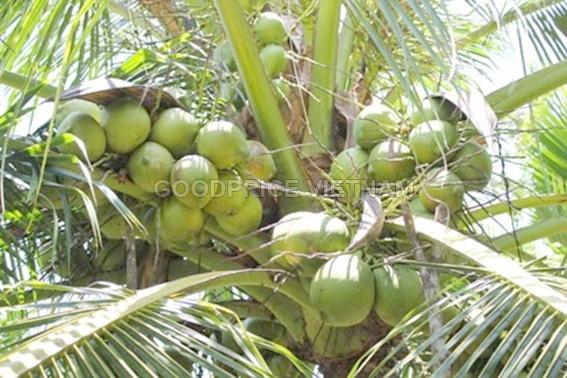 Cám dừa
