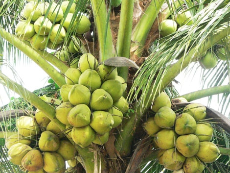 dừa miền tây