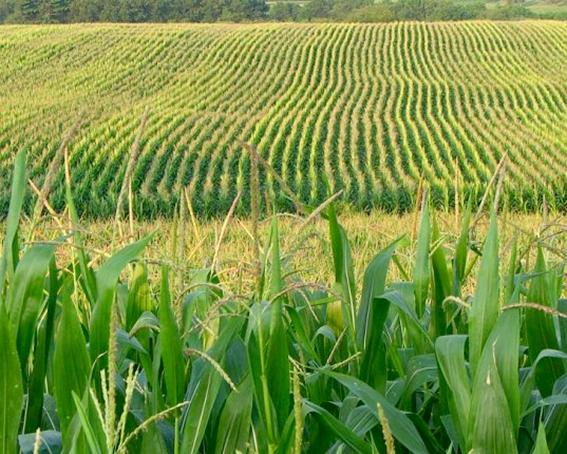 Bắp hạt nam mỹ