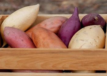 Đây là lý do tại sao khoai lang được ưa chuộng khi ăn kiên
