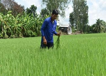 Lúa sạch – Hướng nông nghiệp bền vững cho An Giang