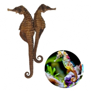 Live Seahorse high quality from Vietnam