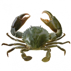 Live mud crab from vietnam with best price