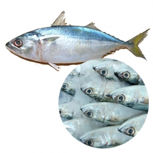 Frozen indian mackerel fish high quality